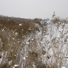 reed beds in snow