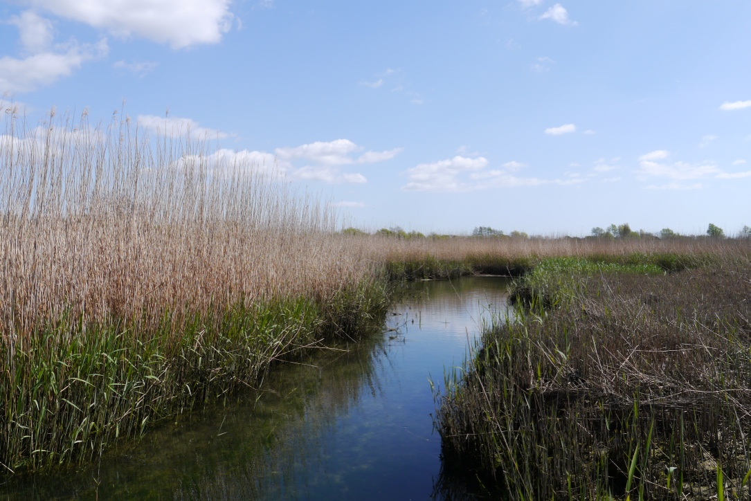 reedbed in summer